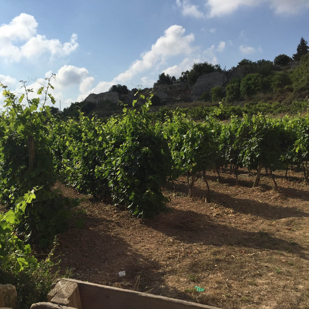 Maltese viticulture, grapes, winemaking
