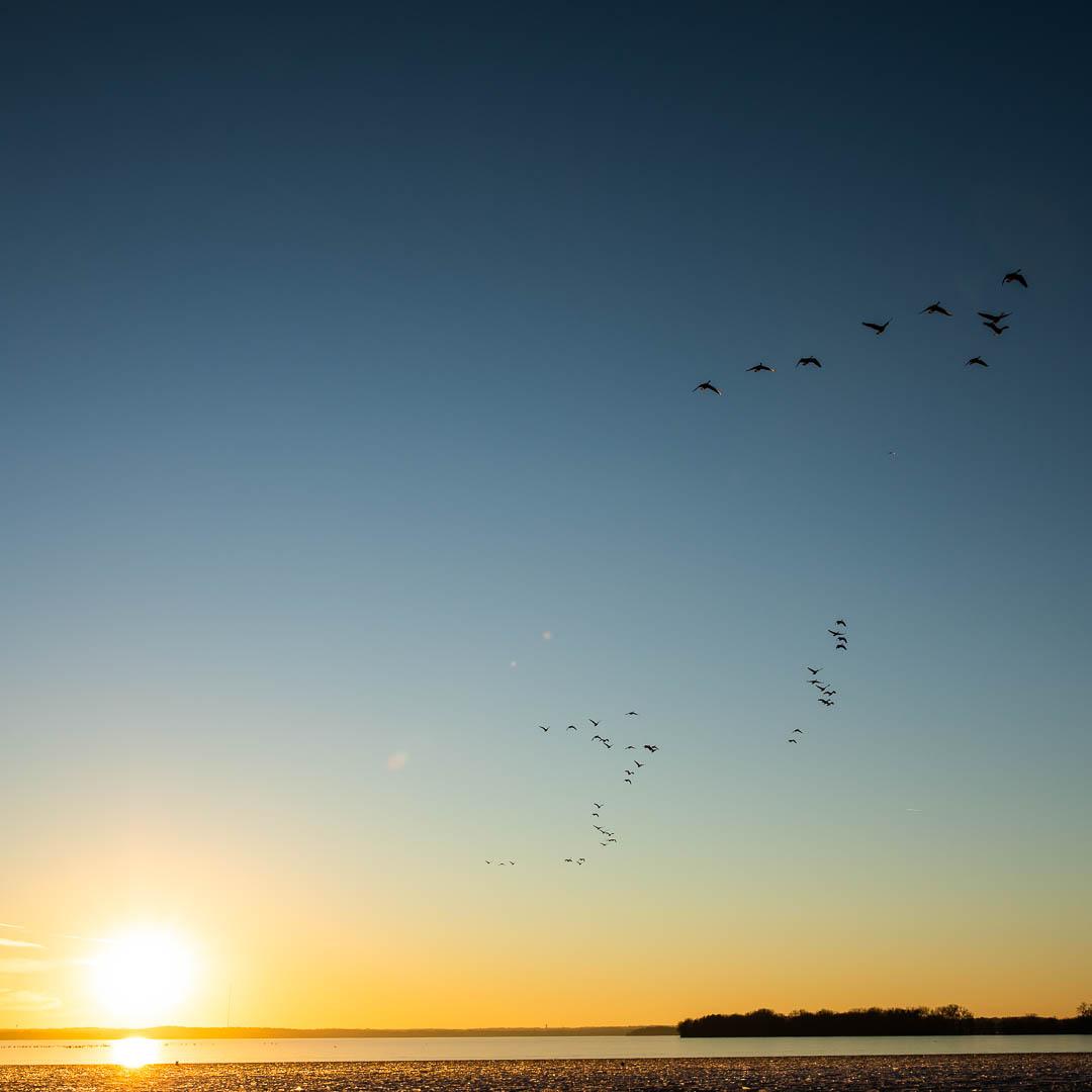 Geese at Warner Beach
